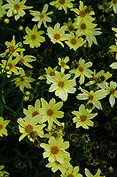 Creme Brulee Tickseed (Coreopsis 'Creme Brulee') at Satellite Garden Centre