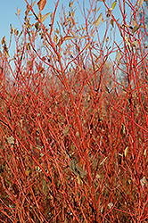 Cardinal Dogwood (Cornus sericea 'Cardinal') at Satellite Garden Centre