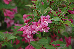 Minuet Weigela (Weigela florida 'Minuet') at Satellite Garden Centre
