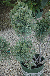 Hetz Blue Juniper (pom pom) (Juniperus chinensis 'Hetz Blue (pom pom)') at Satellite Garden Centre