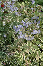 Touch Of Class Jacob's Ladder (Polemonium reptans 'Touch Of Class') at Satellite Garden Centre