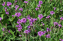 Polaris Verbena (Verbena rigida 'Polaris') at Satellite Garden Centre