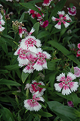 Wee Willie Sweet William (Dianthus barbatus 'Wee Willie') at Satellite Garden Centre
