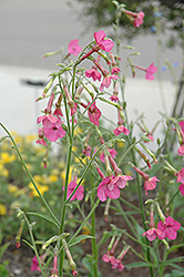 Whisper Deep Pink Flowering Tobacco (Nicotiana 'Whisper Deep Pink') at Satellite Garden Centre