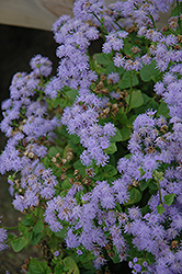 Monarch Grande Blue Flossflower (Ageratum 'Monarch Grande Blue') at Satellite Garden Centre