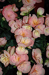 Dragone Sunset Begonia (Begonia 'Dragone Sunset') at Satellite Garden Centre
