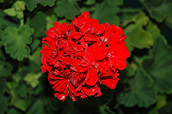 Tango Vintage Red Geranium (Pelargonium 'Tango Vintage Red') at Satellite Garden Centre