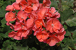 Survivor Salmon Geranium (Pelargonium 'Survivor Salmon') at Satellite Garden Centre