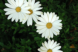 White Lightning African Daisy (Osteospermum 'White Lightning') at Satellite Garden Centre