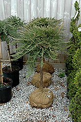 Blue Chip Juniper (tree form) (Juniperus horizontalis 'Blue Chip (tree form)') at Satellite Garden Centre