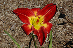 Cherokee Star Daylily (Hemerocallis 'Cherokee Star') at Satellite Garden Centre