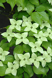 Milky Way Chinese Dogwood (Cornus kousa 'Milky Way') at Satellite Garden Centre