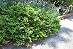 Buffalo Juniper (Juniperus sabina 'Buffalo') at Satellite Garden Centre